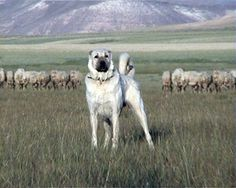 Kangal Dog - what a great photo.