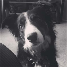 Meet 3 year old Jackos from Calgary Canada!  He's the latest addition to the web's largest (and best) border collie image gallery!  Got a pic you want to share with our community?  Please send your hi-res pic along with a short intro to submissions@bordercolliefanclub.com  #bordercollie #bordercollies #dog #bordercolliesrock #bordercollie_feature #bordercolliesoftheworld #bordercolliesarethebest #bordercolliefc