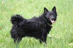 A medium-sized dog that was bred for herding, the Mudi is an exceptional companion as well as intelligent. Few people have even heard of the Mudi but that is for a good reason ,this is a rare breed!