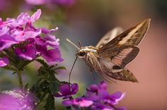 White-lined Sphinx Hummingbird Moth Sucking Nectar (for MH) Beautiful Butterflies, Beautiful Birds, Hummingbird Moth, Insect Species, Types Of Insects, Flying Flowers, Night Flowers, Nature Animals, Silk Painting