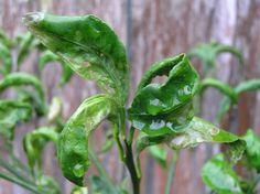 Cure for Curly Citrus, Citrus Leafminer | Organic Gardener Magazine Australia