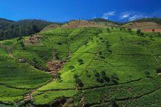 Teeplantagen bei Nuwara Eliya, Sri Lanka