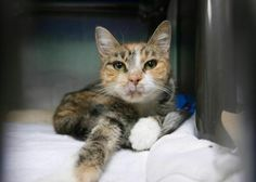 """SUSHI - A1123838 - - Brooklyn  ***TO BE DESTROYED 09/13/17 *** This senior sweetheart is underweight but is now eating kitten food well and gaining weight. She has a lip ulcer which is also healing. She has been a stray so needs to be given a chance and also could use a competent vet visit. ORDER SOME """"SUSHI"""" TAKE OUT TONIGHT!! -  Click for info & Current Status: http://nyccats.urgentpodr.org/sushi-a1123838/"""