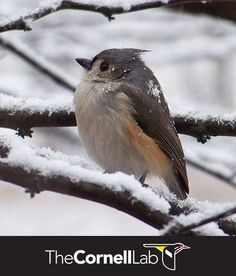 Tufted Titmice cannot survive the fierce winter conditions that Black-capped Chickadees in most of Canada survive. But they are well-equipped to survive below-zero temperatures for a few nights. Learn more here: http://info.allaboutbirds.org/evergreen_birdnotes-winter-bird-feeding