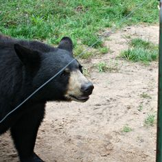 Twin Cedars goes field trippin' – Oswald's Bear Ranch in Newberry, #Michigan #UpperPeninsula