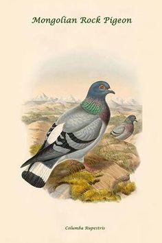 Columba Rupestris - Mongolian Rock Pigeon