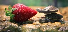two cute tortoises and a strawberry