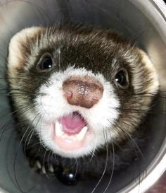 My worst nightmare and biggest fear.  Ferret-a-phobia