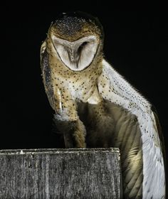 Bill Gracey 15 Million Views posted a photo:  This young barn owl had been confined inside the owl house all day, and when it had the opportunity it started stretching. The house is on our property, and we had it installed for purposes of rodent control. It turns out that we enjoy watching the young owls even more than we appreciate the rodent control.  Lighting I put two bare Yongnuo strobes on a tall light stand in front of the owl house, and triggered them with a Yongnuo RF-603N.  I have…