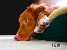 A bored Duck Toller is never a good thing.