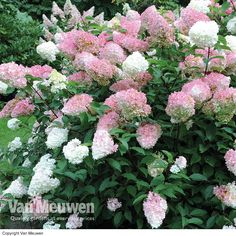 Hydrangea paniculata 'Vanille Fraise' plants from Thompson & Morgan - experts in the garden since 1855 White Hydrangea Garden, Hydrangea Potted, Hydrangea Varieties, Hydrangea Flower, Hydrangea Quercifolia, Cottage Garden Plants, Garden Compost, Woodland Garden, Large Plants