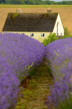 Snowshill Lavender Farm, Gloucestershire, England