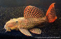 L114 Leopard Cactus Pleco Tropical Freshwater Fish, Tropical Fish Tanks, Freshwater Aquarium Fish, Saltwater Aquarium, Aquarium Fish Tank, Pleco Fish, Plecostomus, Salt Water Fish, Cool Fish