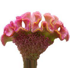Pink Celosia Flower