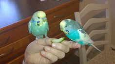 LOVE BIRDS  MY BIRDS ARE CUTE I LOVE BIRDS