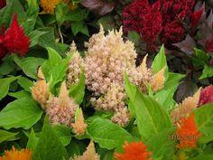 From China to Borneo and Beyond 海外华人的中国魂: 从中国,到南洋,到更远: Cockscomb flower/Celosia Cristata,