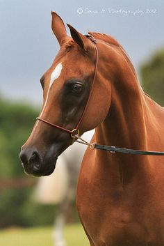 Majestic  Clipped and sheened arabs like this always remind me of those horse dolls I used to play with when I was little. They almost look fake.