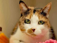 Meet TABITHA a Petfinder adoptable Domestic Short Hair Cat | Pittsburgh, PA | Hi there, My name is Tabitha!!-Three words to best describe my personality would be...Joyful,...