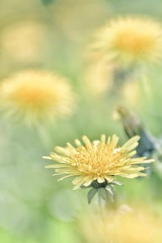 Dandelions are one of my favorites. Pure sweetness, so humble.