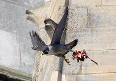 Adult Peregrine with prey Fastest Bird, Norwich Cathedral, British Wildlife, August 22, Summer Sky, Peregrine, Norfolk, Woodland, Cities