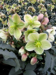 Helleborus 'Monte Cristo'   At first glance it may appear very similar to 'Cinnamon Snow', but those who look for that perfect shade when combining plants will appreciate the peach blush on these creamy white flowers. The foliage also has more silvery blue tints yet exhibits the deep red stems that I especially appreciate. 'Monte Cristo' is a little smaller than 'Cinnamon Snow', at 12 inches tall and 18 inches wide, but equally floriferous.