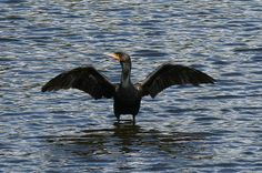 Great Cormorant: This photo of a Great Cormorant was taken beside the Quinnebaug River in Putnam Connecticut in September 2013.
