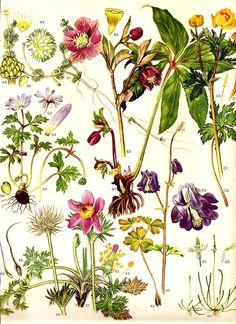 Aasataimed. Vintage Wild Flowers Print 1970 Color Art Book PLATE 8 Botanical Pasque Flower, Beautiful Blue Columbine, Mousetail Flowering Garden Plants