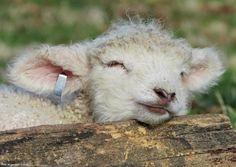 Sleeping lamb at Colonial Williamsburg ~ April 1, 2017.  Photo courtesy of Fred Blystone.