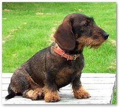 Wire hair dachshund - I will have another wire-haired doxie - and next time a standard!