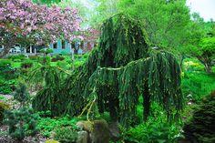 Picea abies 'Pendula Major'. Świerk pospolity 'Pendula Major'.
