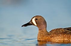 Blue Winged Teal male Blue Winged Teal, Brown County, Blue Wings, Ducks, Hunting, Birds, Photography, Animals, Photograph