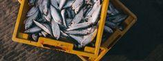 Impulsa UABC acuacultura sustentable del atún