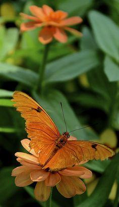 Julia - Peck Farm Butterfly House Geneva IL | asterales