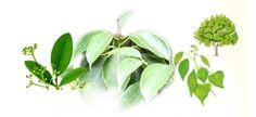 L'huile essentielle de ravintsara : Anti-virale par excellence | Les Secrets des Huiles Essentielles