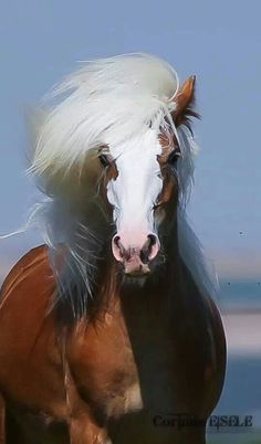 Strength of a horse with a beautiful white Blaze face and mane.