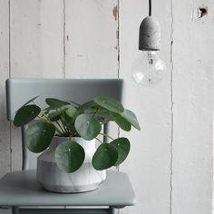 Pannenkoekplant love!