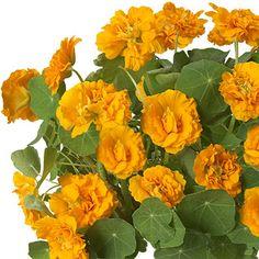 Jaldety - Plant Propagation Nursery > Variety Page