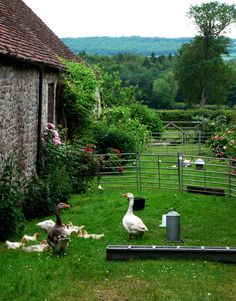 Beautiful yard scene, with geese and  roses!