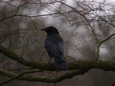 "The Murmuring Cottage This makes me think of "".quoth the raven, ""Nevermore! Samhain, Michael Cole, Photo Animaliere, Quoth The Raven, Yennefer Of Vengerberg, Jackdaw, Crows Ravens, Foto Art, Tumblr"