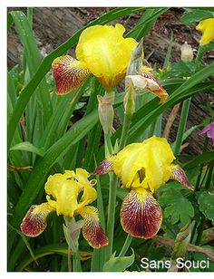Iris 'Honorabile', 1840, Acc: 142227 & 142229.  Unable to find online photo of true Honorabile, which is described as having solid colored falls; Sans Souci (pictured) and several other sports are reticulated.  I guess we will have to see what we really have next spring.