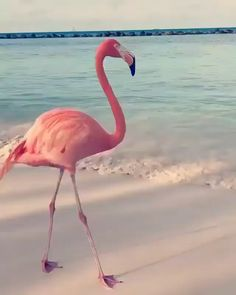 Flamingo Bird Dancing On Beach 🏝 - Happy Tiere Pretty Birds, Beautiful Birds, Animals Beautiful, Flamingo Bird, Pink Flamingos, Flamingo Beach, Pink Beach, Animals And Pets, Baby Animals
