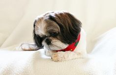 Shih Tzu-Just one more picture and than you can take a nap.