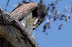 birds of prey feeding - Ecosia Yahoo Image Search Results