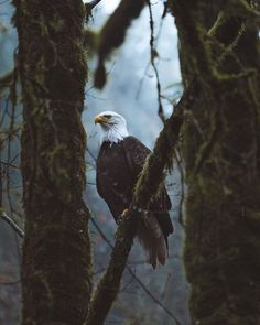 "Tour Canada 🇨🇦 on Instagram: ""Bald eagle in Goldstream Provincial Park, BC 🦅 photo by @ryanfloodphoto #tourcanada"" Haliaeetus Leucocephalus, 10 Picture, Bird Watching, Eagles, Bald Eagle, Creatures, Canada, Birds, Tours"