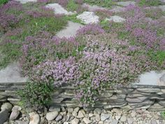 I am going to plant creeping thyme on all our stone pathways.  Lemon thyme smells especially amazing!