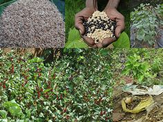 Promising Medicinal Rice Formulations for Cancer and Diabetes Complications and Revitalization of Pancreas (TH Group-126 special) from Pankaj Oudhia's Medicinal Plant Database