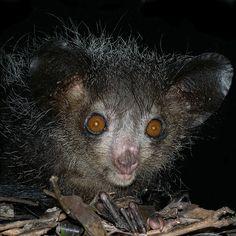 Bemaraha Woolly Lemur Bemaraha Woolly Lemur Wildlife Pinterest