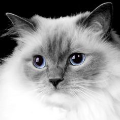 Ragdoll Cat by LaurieHaagPhotography, via Flickr