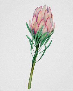 Shop Watercolor Pink Floral Art Poster created by NamiBear. Protea Art, Protea Flower, Watercolor Flowers, Watercolor Paintings, Flower Line Drawings, Watercolor Beginner, Australian Flowers, Paint Photography, Watercolor Projects