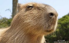 Capybara I WANT ONE!!!!